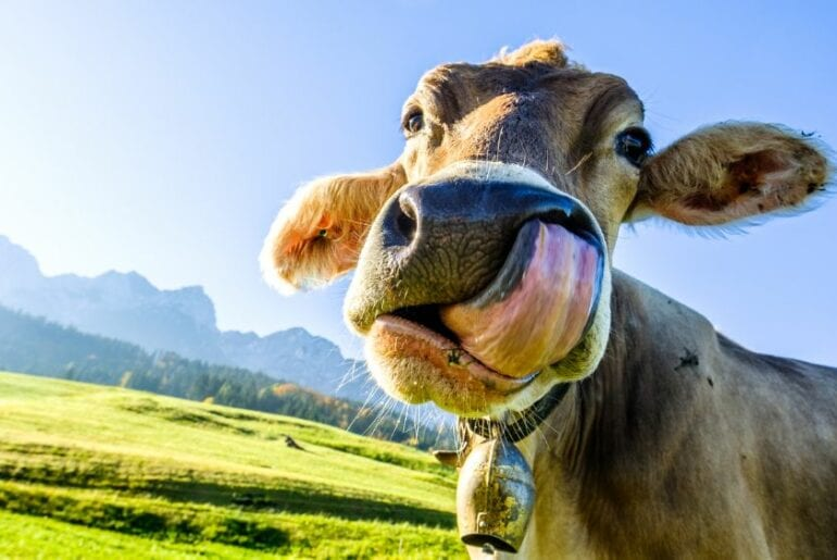 Cow Sticking out Tongue