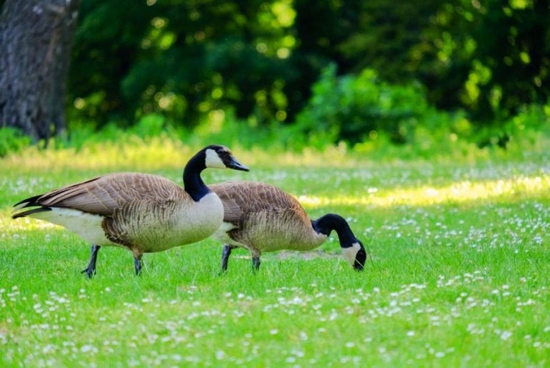 Effective Tips to Stop Geese From Pooping in Your Yard ...