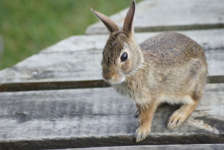 How to Get Rid of Rabbits Under Your Deck - My Backyard Life