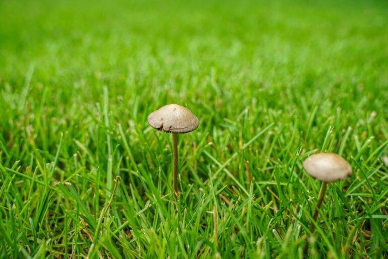 Mushrooms Growing in Lawn