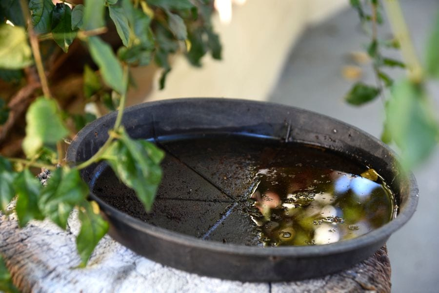 Stagnant Water in Plant Dish - Mosquitos