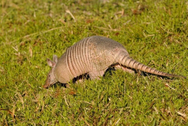 Armadillo in Yard