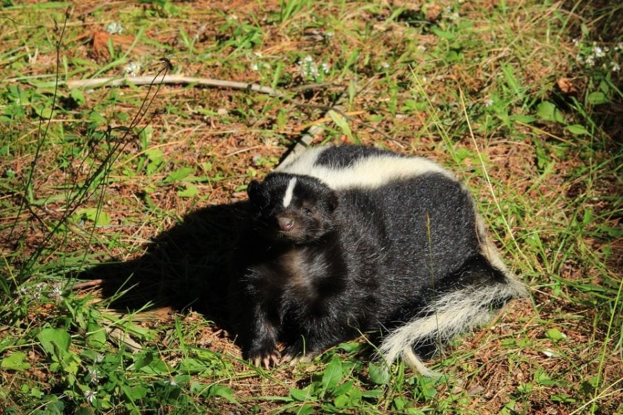 4 Easy Ways to Get Rid of Skunks Under Your Shed - My ...