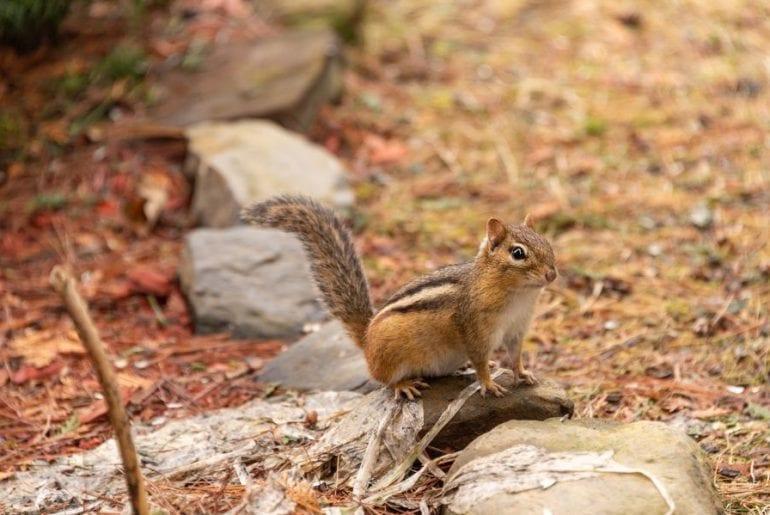 Chipmunk in Yard