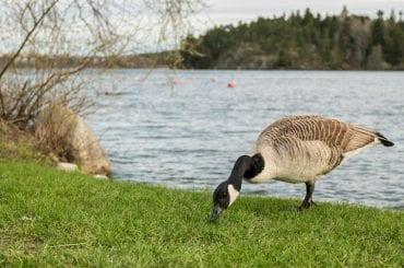 Goose near water