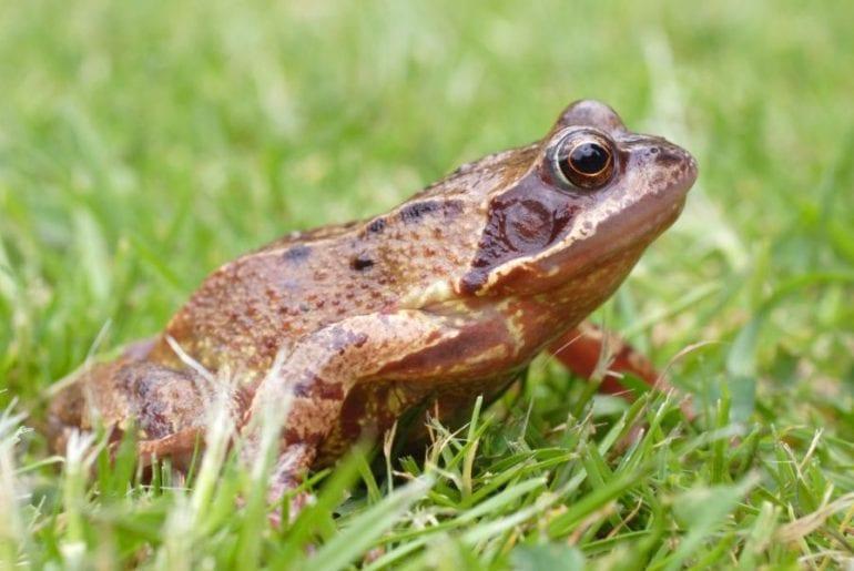 Frog in Yard