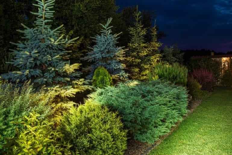 Pine Trees in Backyard