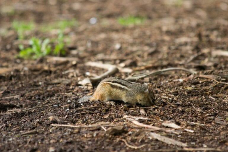 Chipmunk Digging