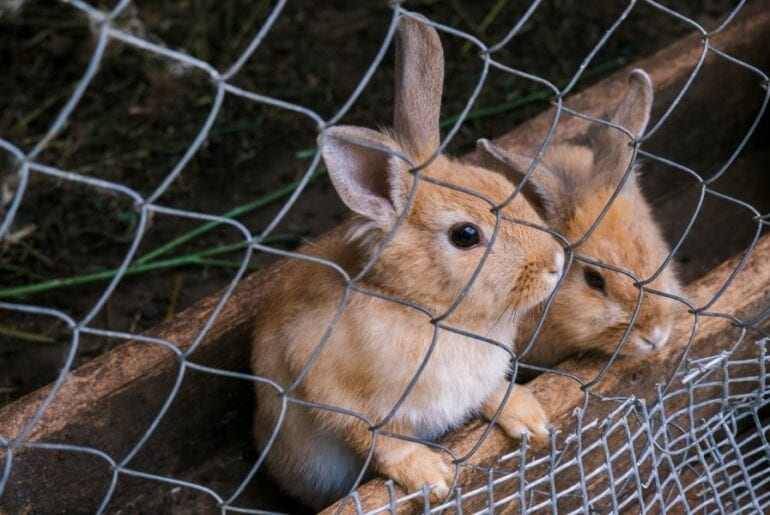 Rabbits Behind Fence