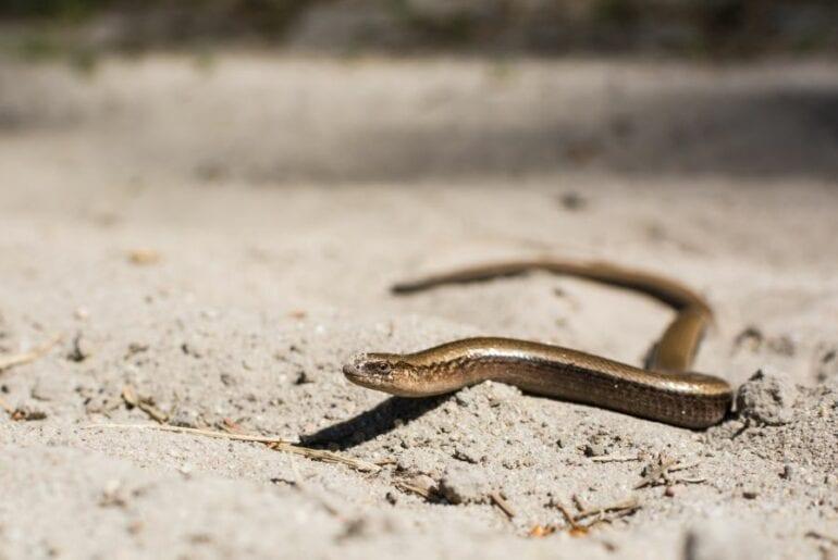 Snake in Sand