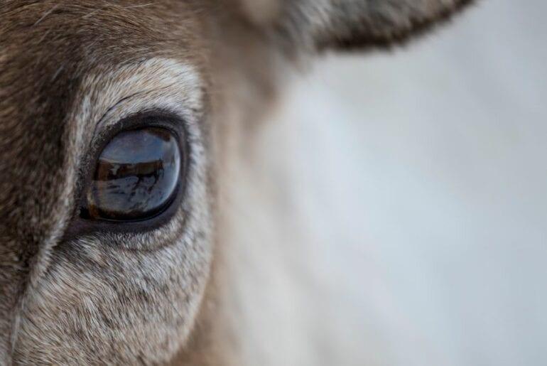 Closeup of Deer