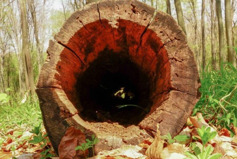 Hollow Tree Log