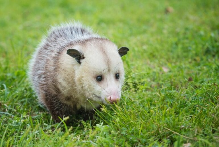 Possum in Yard
