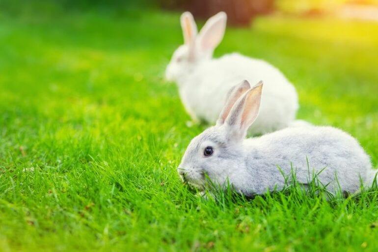 Rabbits in Yard