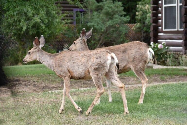 Two Deer in Yard
