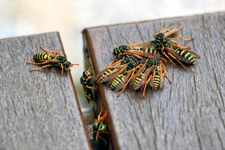 Group of Wasps on Deck