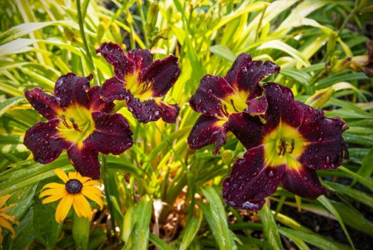 Close-up of Blooming Daylilies
