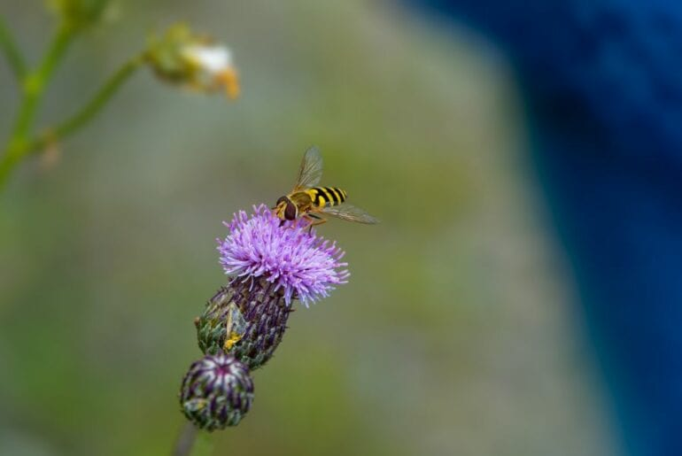 Hoverfly Collecting Nectar