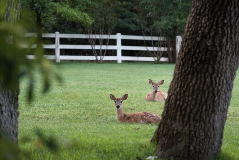 Two White-Tailed Deer Fawns Lying in Grass