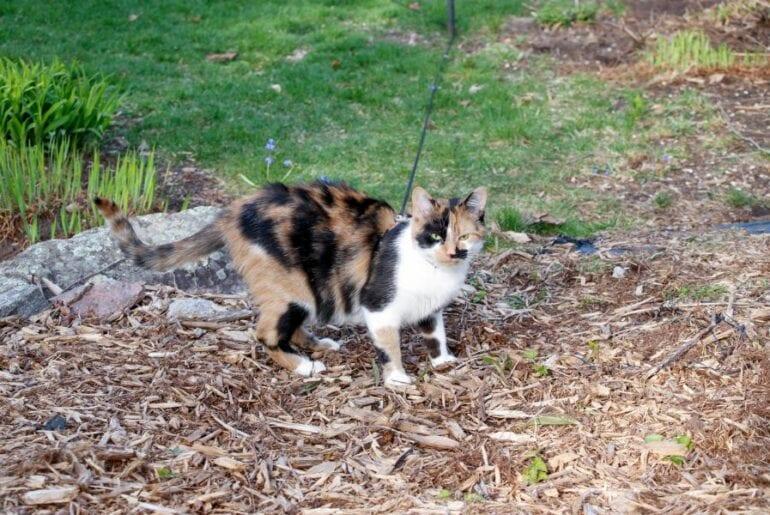 Calico Kitten Standing in Mulch