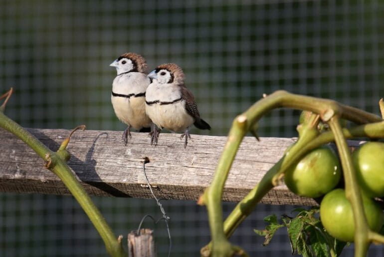 Double Barred Finch (Australia) Perched Near Tomatoes