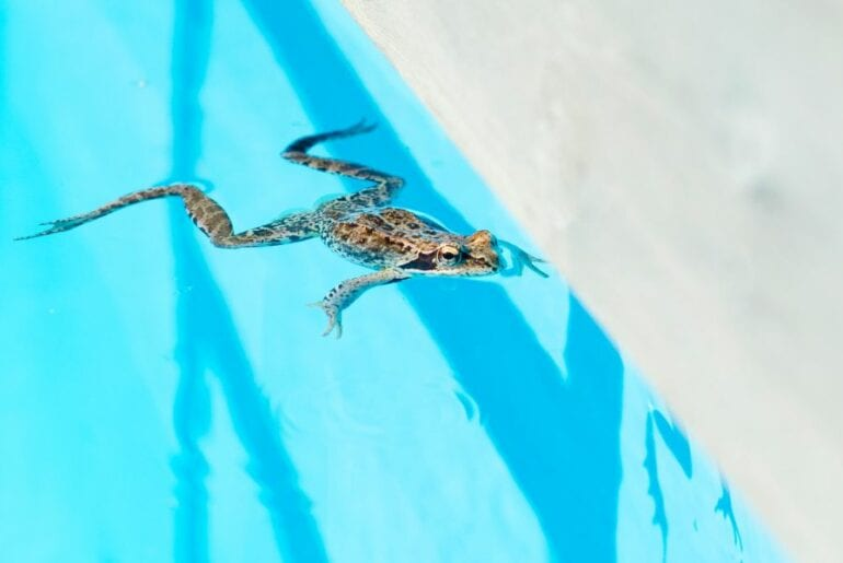 Frog Swimming in Pool