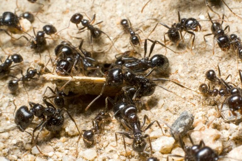 Group of Ants in Sand