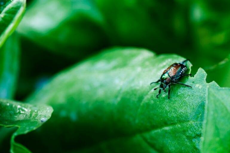 Japanese Beetle on Bay Leaf
