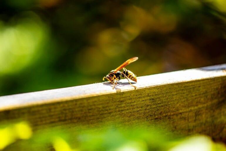 Paper Wasp on Wood Railing