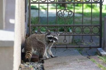 Raccoon Near Entry Fence