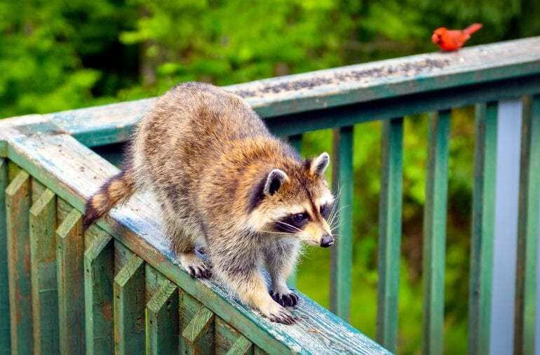 Raccoon on Railing of Backyard Deck