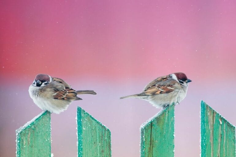 Sparrows Sitting on Blue Fence