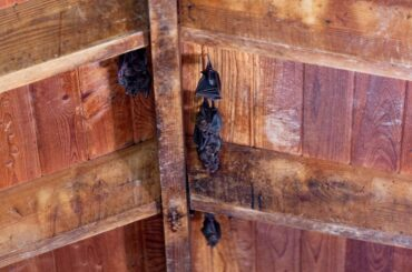 Bats Hanging from Barn Ceiling