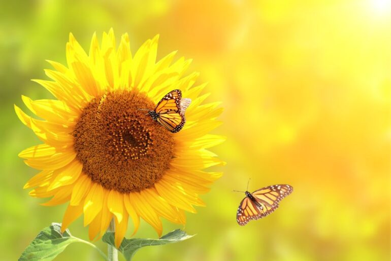 Butterflies on Sunflower