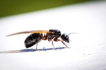 Flying Ant Close Up