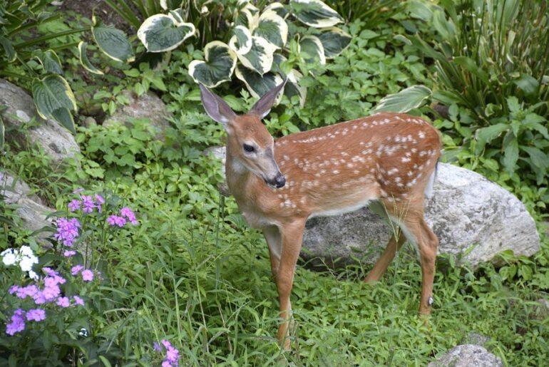 Deer in Backyard Garden
