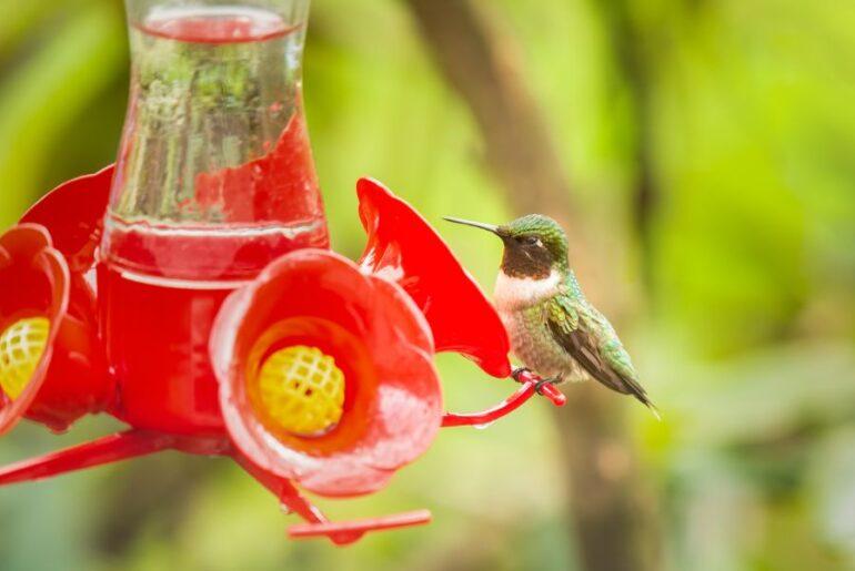 Ruby-Throated Hummingbird on Feeder
