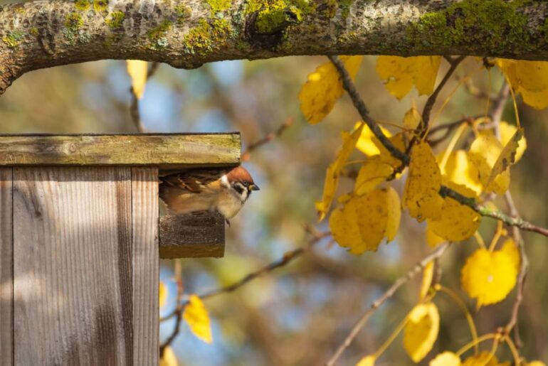 Sparrow Perched on Wooden Birdhouse in Aspen Tree
