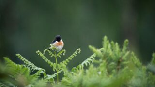 Male Stonechat Bird Sitting on a Fern